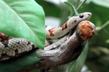 lampropeltis-mexicana-greeri