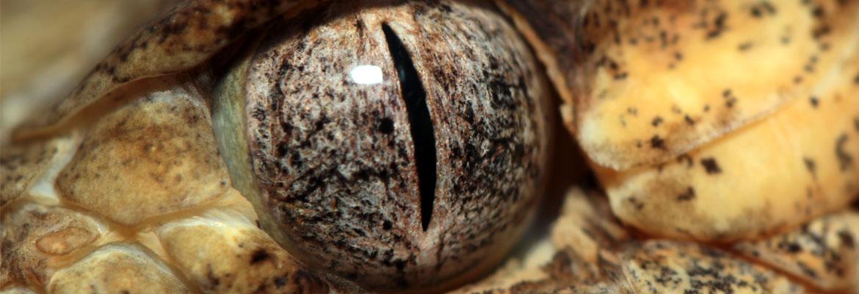 eye-rattlesnake